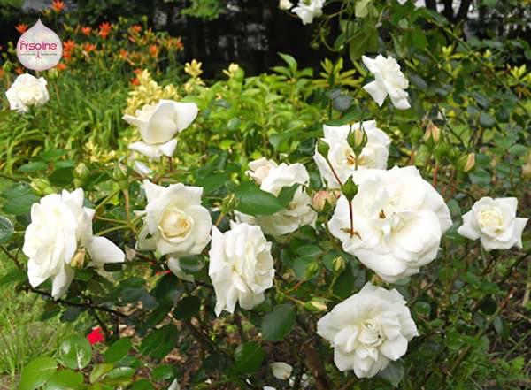 Dùng hoa hồng trắng chữa hắt hơi sổ mũi cho trẻ