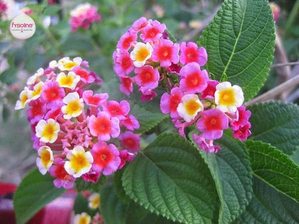 Bài thuốc cây ngũ sắc chữa bệnh viêm mũi dị ứng