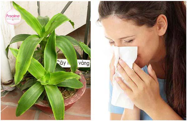Chữa bệnh viêm mũi dị ứng bằng bài thuốc từ cây lược vàng